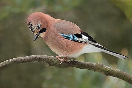 jay, bird, garrulus glandarius, foraging, garden, nature, wildlife