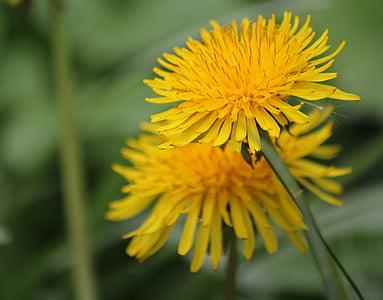 luči cvet, cvet, rumena, plevela, rastlin, Regrat