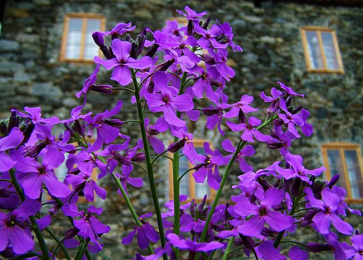 flor porpra, flors de primavera, jardí de flors