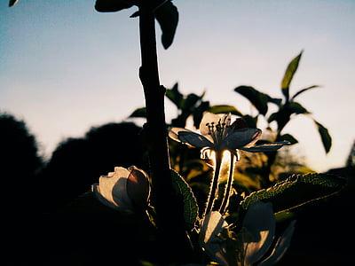 Blume, Apfelbaum, Bloom, Frühling, Baum, Filiale, Sonne