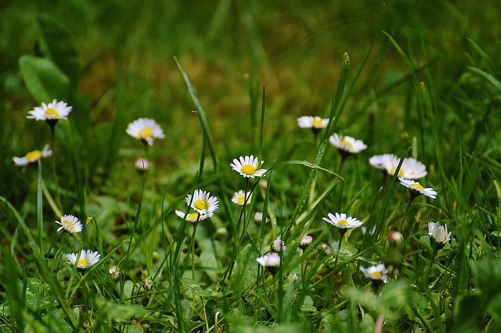 daisy, meadow, garden, nature, wildflowers, summer meadow, flower meadow