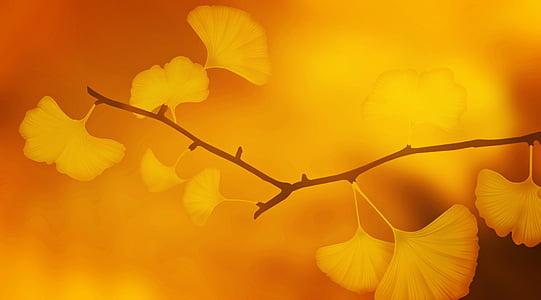 textura, fons, Ginkgo, fulles de Ginkgo, branca, planta, d'or