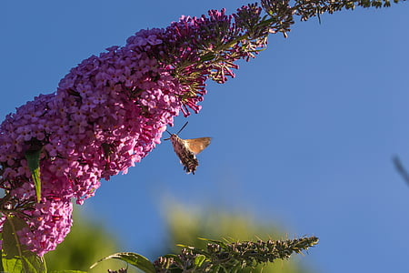 hummingbird hawk moth, insect, flower, blossom, bloom, moth, butterfly