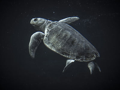 morske želve, želva, morje, Ocean, vode, živali, plazilcev