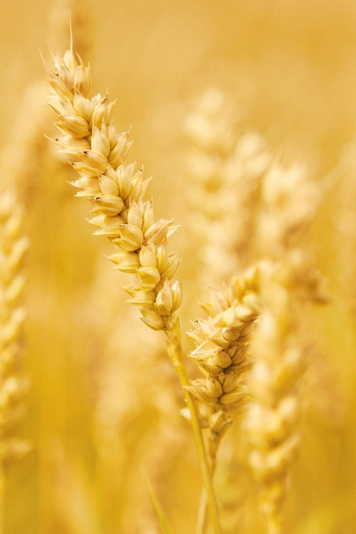 nông nghiệp, ngũ cốc, cây trồng, tai, Trang trại, nông nghiệp, lĩnh vực