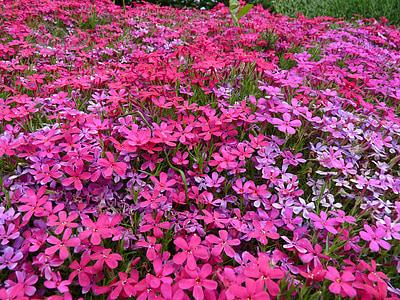 dywan kwiat, różowy, Dywan z kwiatów, fioletowy, ogród, kwiat