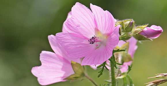 sigmar wurz, mályva, mályva Rózsa, Rózsa-mályva, Wild flower, természet, virág