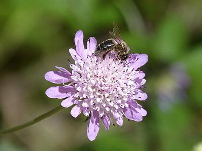abella, Libar, pol·len, flors silvestres, detall, bellesa