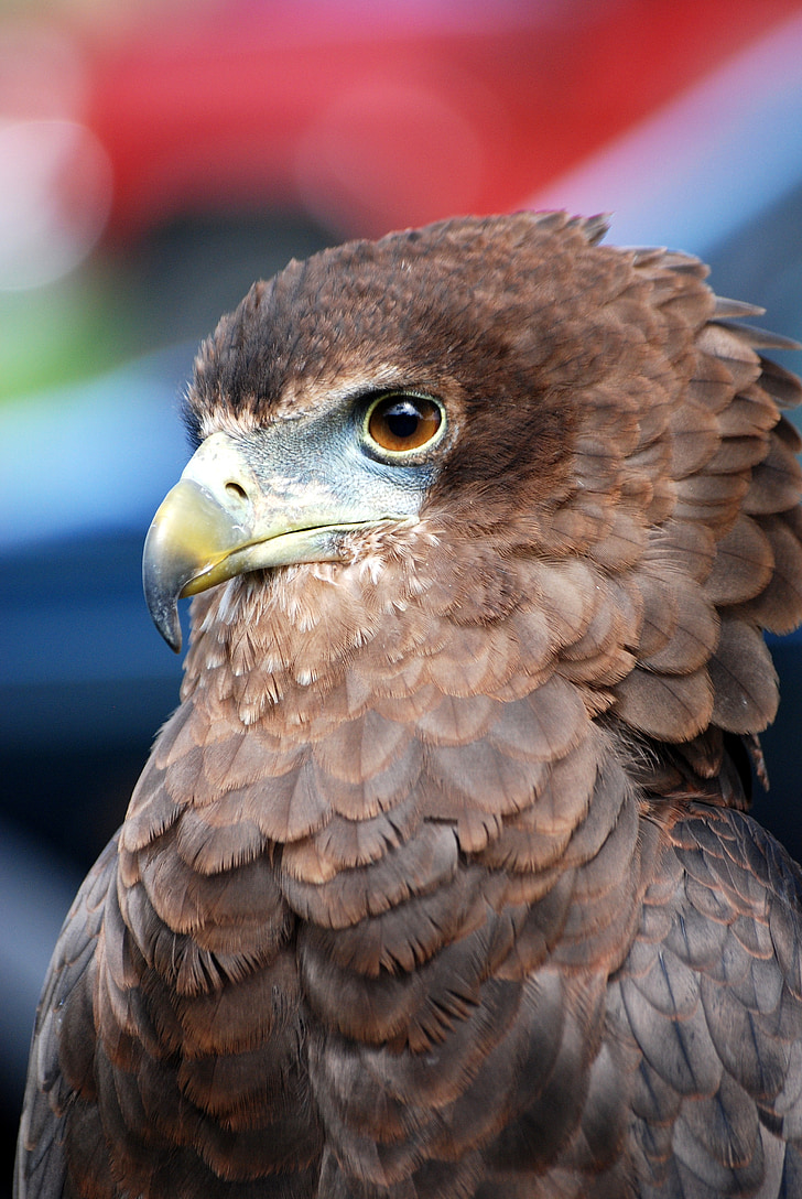 eagle, raptor, bird of prey, predator, falconry, close-up, eyes