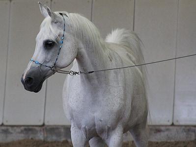 Arapi, konj, čistokrvni arapski, pastuh, konjsku glavu, arapski konj, vožnja