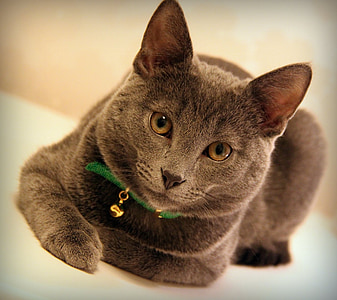 cat, grey, animals, cat profile, gray cat pets