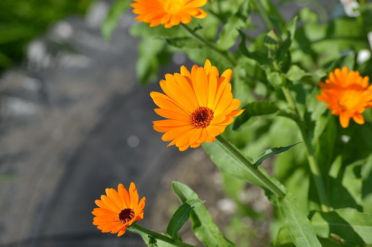 flowers, garden flowers, calendula, summer, summer flowers, flower, orange flowers