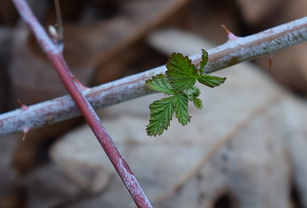 spring raspberry leaves, raspberry, foliage, plant, nature, leaf, thorns