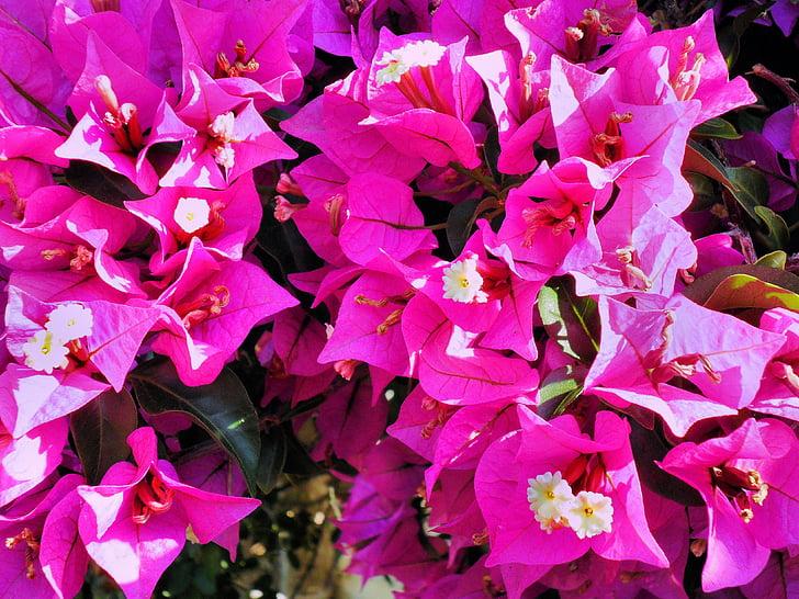 Бугенвиль, розовый, Экзотический цветок
