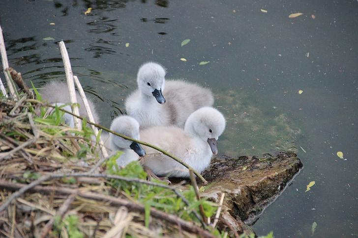 Swan poikasten, joutsen, joutsenet, vesilintu, siitosmunien, Pesä, pöyhiä