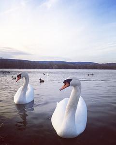 Swan, Sungai, Baru, burung-burung, hewan, alam