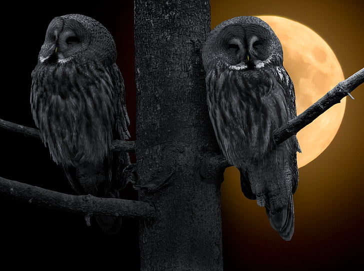 owl, bird, bart owl, moon, wisdom, feather, night