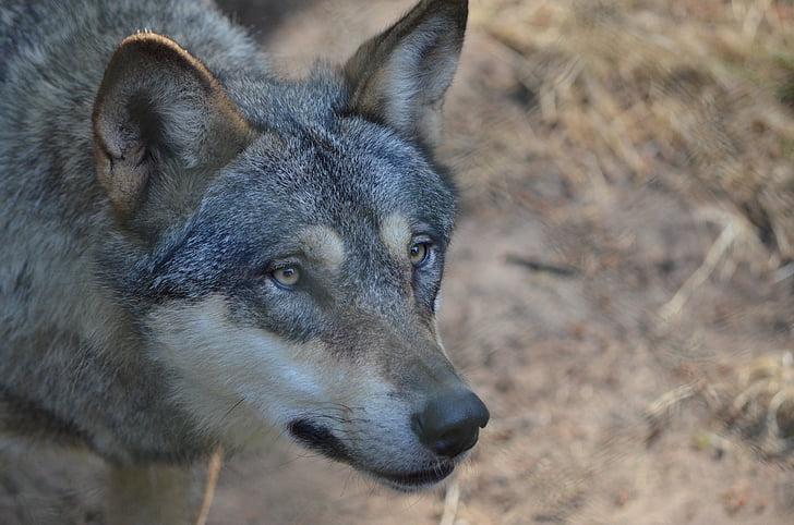 wolf, wolf head, wild animal, predator, bad wolf, wildlife park