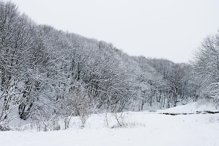 bosc, l'hivern, bosc d'hivern, neu