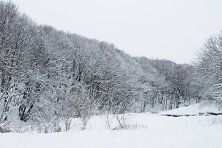 forest, winter, winter forest, snow