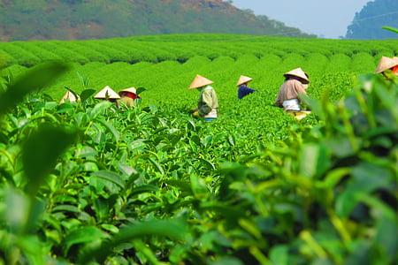 čaj, plantaža, žetva, Obrezivanje, polje, radnika, branje