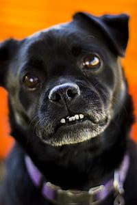dog, pug, animal, pet, puppy, funny, cute