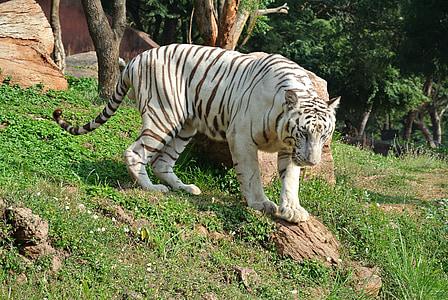 white bengal tiger, tiger, cat, wildlife, predator, animal, mammal