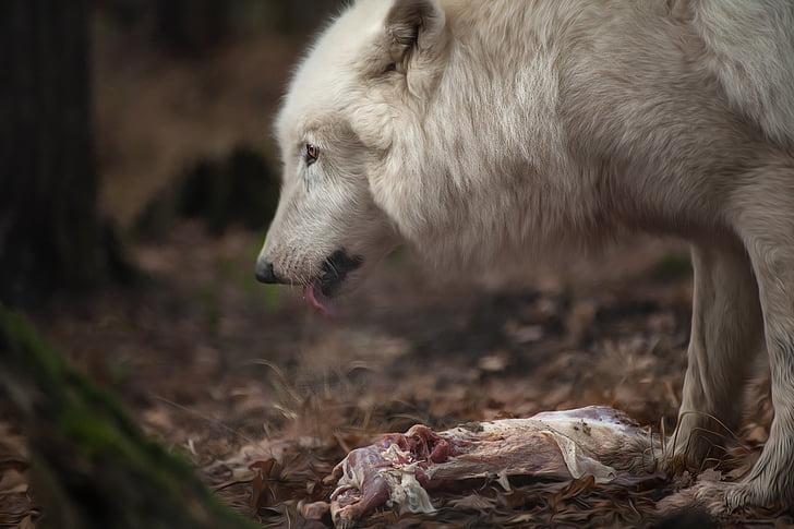 wolf, animal, nature, white, fur, public record, one animal