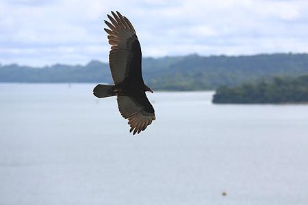 Aguila, Eagle, lintu, eläinten, Luonto, Eagle alla, taivas