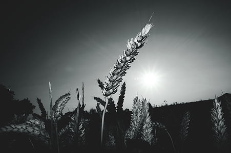 black-and-white, field, nature, sky, sun, wheat, wheat field
