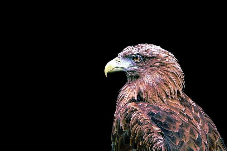 adler, bird, bird of prey, raptor, isolated, black background, one animal