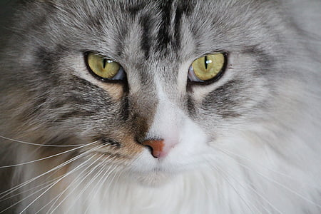 cat, main coon, maine coon cat, maine coon, cat face, mainecoon, adidas