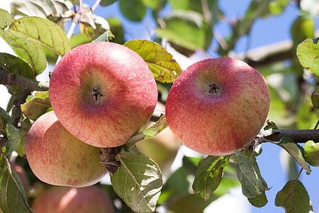 Культура компании apple, яблоко, Malus domestica, Осень, спелый, урожай, фрукты