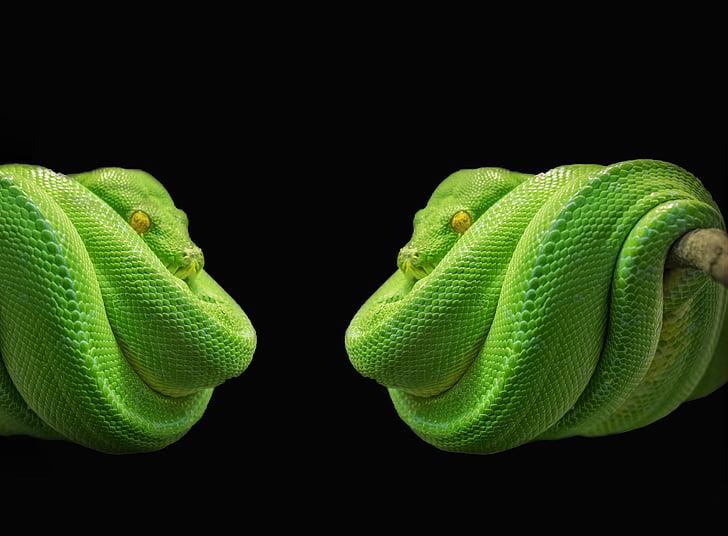 python, had, Zelený strom python, Zelená, strom hada, toxické, zviera