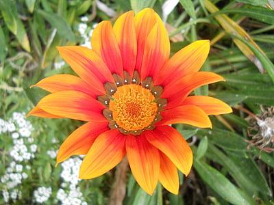 lill, oranž lill, oranž, lilled, Aed, liblikas, loodus