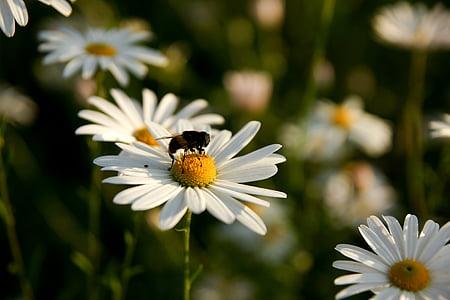 lilled, mesilane, taimed, roosa, kollane, lilled ja mesilased, krüsanteem