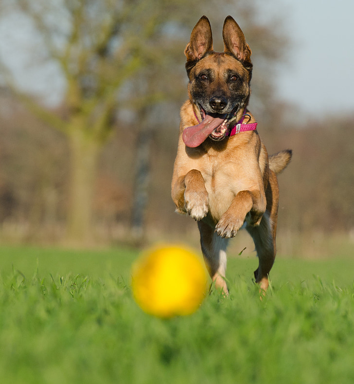 malinois, shepherd dogs, ball hunting, attention, schäfer dog, dog, toys