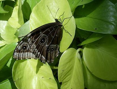papallona, insecte, vida silvestre