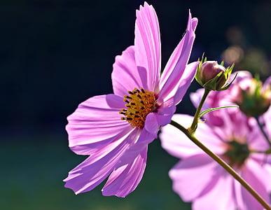 planta, natura, viure, flor, fragilitat, pètal, color rosa