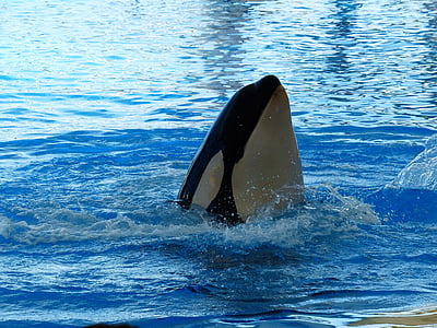 späckhuggare, Orcinus orca, orka, Orca, Wal, vatten, havsvatten