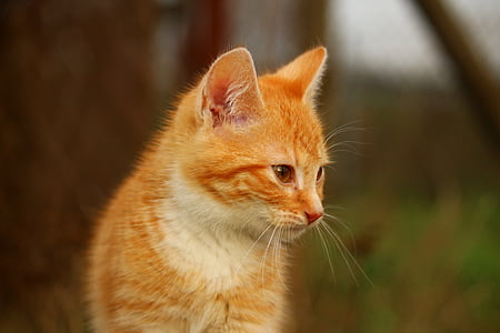 cat, kitten, grass, cat baby, red cat, young cat, red mackerel tabby