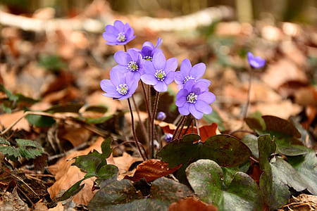 jetrnik, cvet, cvet, cvet, pomlad, tla, gozd