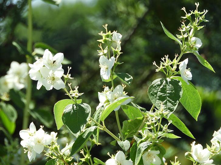 flor, Jasmin, fragància, natura, jardí, llum del sol, flor