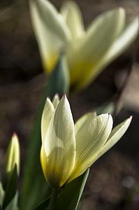 Tulip, valge, ere kollane, õis, Bloom, loodus, Aed