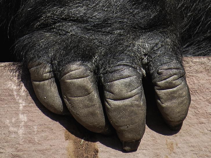 gorilla, monkey, ape, hand, zoo, close