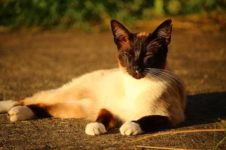 猫, シャム猫, シャム, 猫の品種, 猫の肖像画, サイアム, 子猫