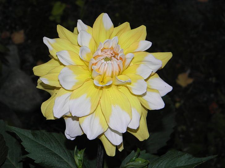 Dalia, lill, Suvine lill, Aed, Aed lill, kollane