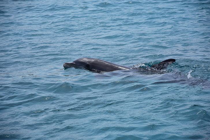 делфините, море, морски бозайници, делфините, плуване, океан, животни