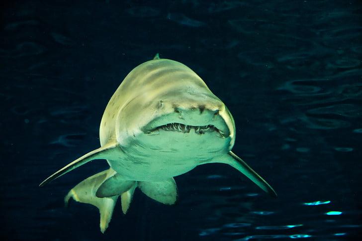 hai, fish, predator, risk, gloomy, shark teeth, underwater