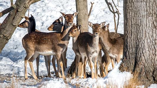 휴 경지 사슴, 동물, dama dama, 포유 동물, 나무, 휴 경지 사슴 발견, 숲